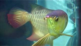 Arowana Fish Farm - Harvest Moment