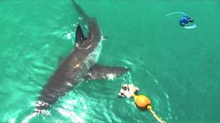 Stingray Vs 23 Foot Great White Shark!!