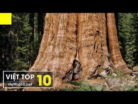 Top 10 Cây Cổ Thụ Lớn Nhất Thế Giới