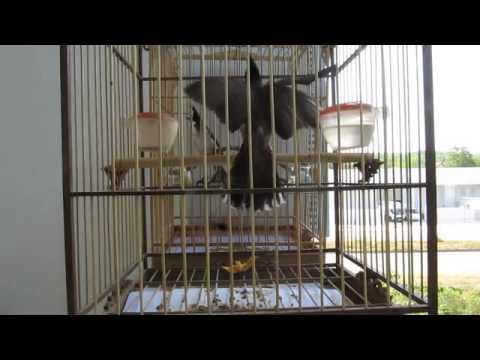 Hôi chim Chào Mào Quảng Ngãi (Mua Bán Trao Đổi )0977114337