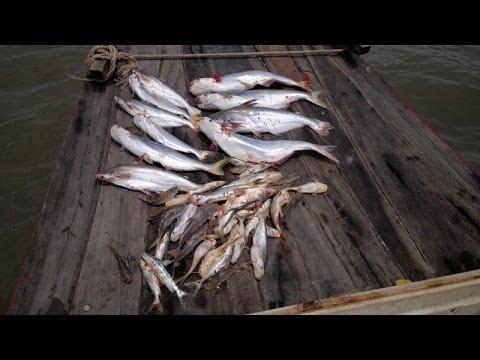 Câu Cá Bông Lau Sông Cửa Đại Ngày 18/06/2014.