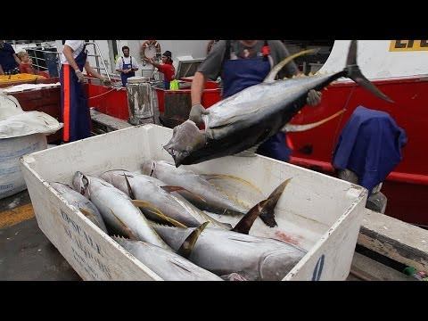 Yellowfin tuna (Thunnus albacares) unloading at Sydney Fish market - Australia