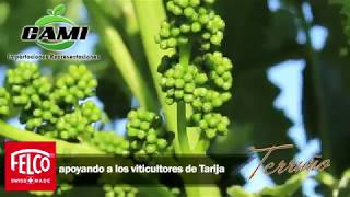 Vinos Aranjuez de Tarija hacen uso de tijeras Felco