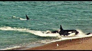 Ataque de orcas en la Patagonia