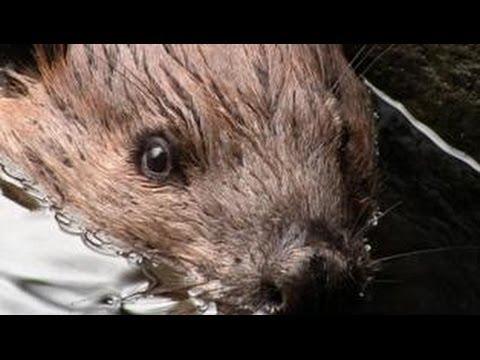 Beaver Whisperer
