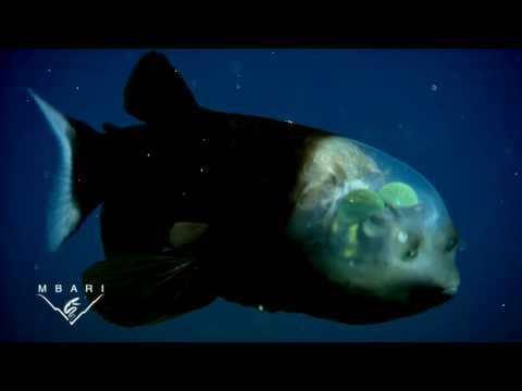 Рыба с прозрачной головой. Такой загадочный и прозрачной :)