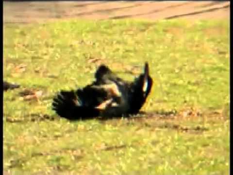 #  aguila real cazando a los.. TIGRES mpg   YouTube