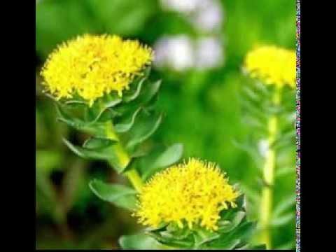 Rhodiola Herb Benefits