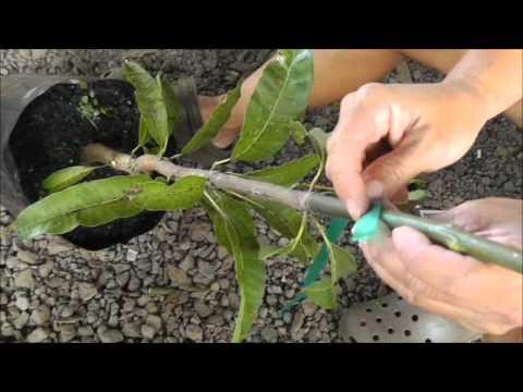 Whip Grafts on Fruit Trees YouTube