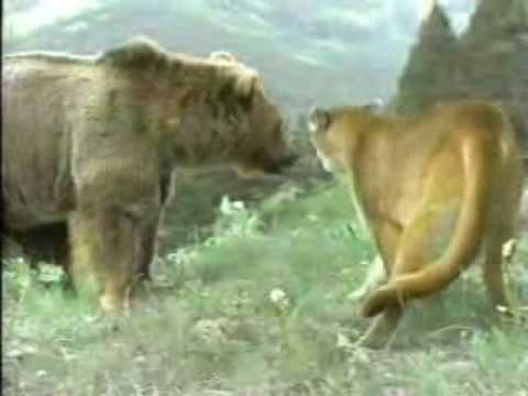 honey badger vs lion. honey badger, grey wolves,