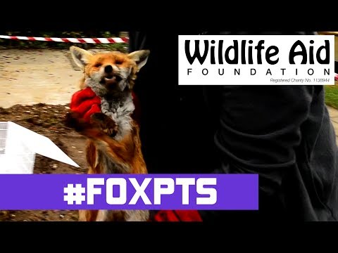 The Fox We Couldn't Save