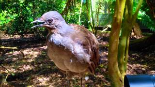 Lyrebird Mimicks Toy Gun, Camera Shutter, Other Birds, Etc