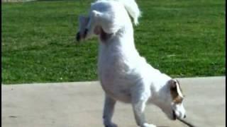 Cão mais inteligente do mundo, o cão Jesse realiza truques incríveis