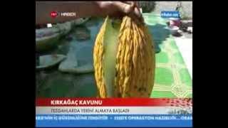 Meşhur Kırkağaç kavunu TRT Haber'de