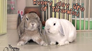 Tiramisu Bunny: Routine Activity of House Rabbit