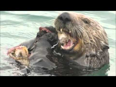 Sea Otter Fisheries Conflict