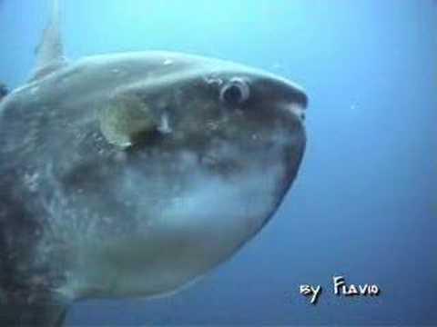 Il Pesce Luna .. Moon Fish !