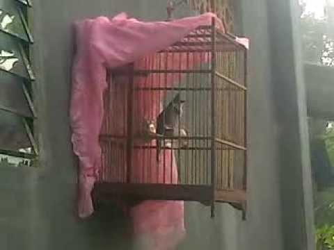 Chao mào má trắng A lưới mới bẩy được 1 tháng lồng tuổi!