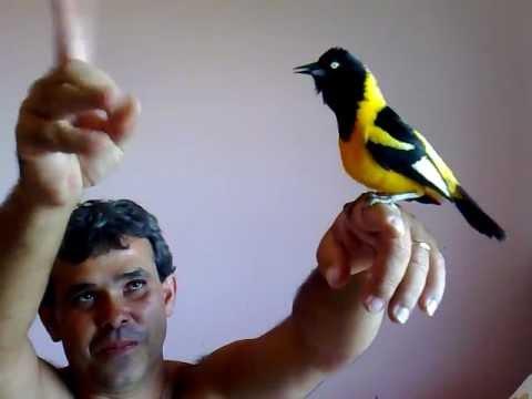currupião cantando hino na mão ...
