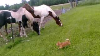 Chihuahua vs. caballos