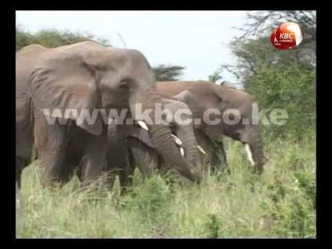 Elephant population drop in Tsavo