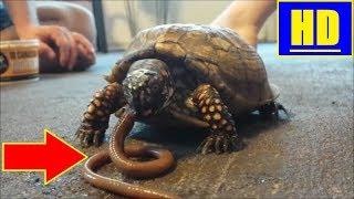 EPIC: Turtle VS Worm! Or Tortoise EATS live worm? Canadian Nightcrawler gets handled! HD