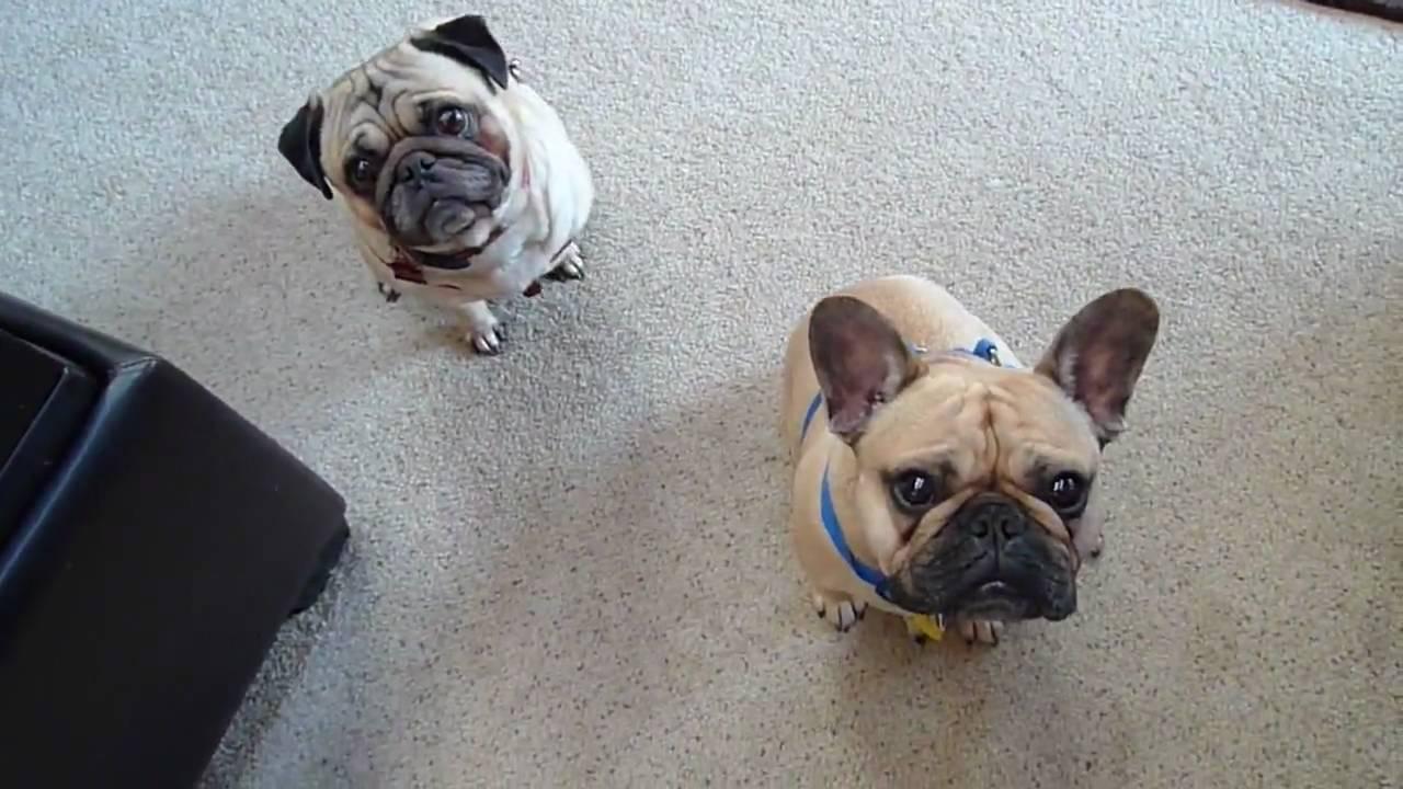 French Bulldog Vs Pug Image