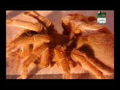 Ptasznik - Australijski król pająków CAŁY FILM