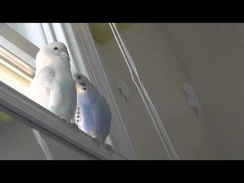 Cute Budgies Playing with Blind Strings