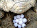 Puesta De Huevos De Tortuga Sulcata Tortugasterrestres.jimdo