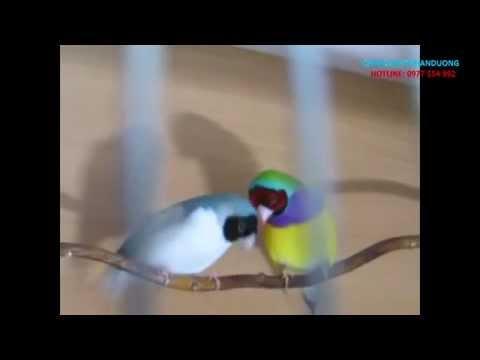 Kinh nghiêm chọn chim cảnh sinh sản_ Chim Bảy màu tán gái
