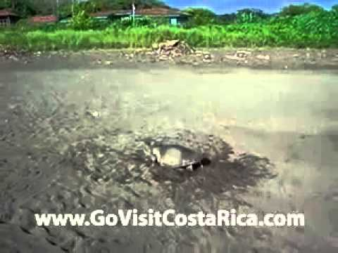 Olive Ridley Sea Turtle Nesting in Costa Rica