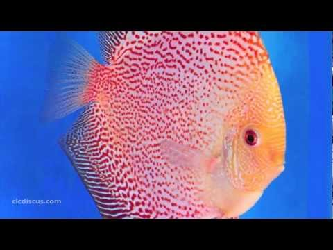 Discus Fish Gallery, http://www.clcdiscus.com About Discus Fish - All types of discus fish strains with their names in HD photo images. Learn about the varieties of patterns and ...