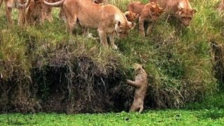 Lion Cub Falls in the Water - Little Big Cat - BBC