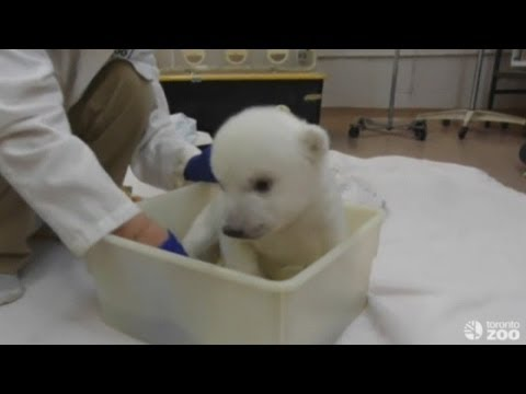 Toronto Zoo's polar bear cub takes his first bath