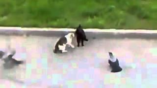 Gato satanico y sus pajaros esclavos atacan