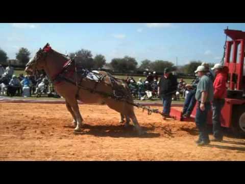 Draft Horse Pull false start with extra finish