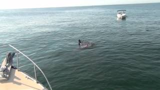 Great White Shark Attacks Seal Off Chatham, MA 8/22/12