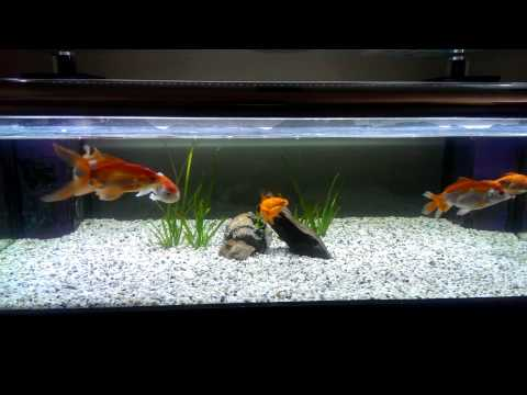 Sexing your goldfish - spawning