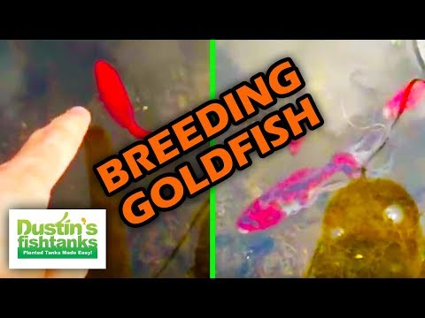 Breeding Goldfish, How To Sex Goldfish. Water Changes. Sexing Goldfish.