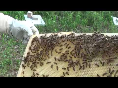 Beginner Bee Keeping - Week Two Hive inspection