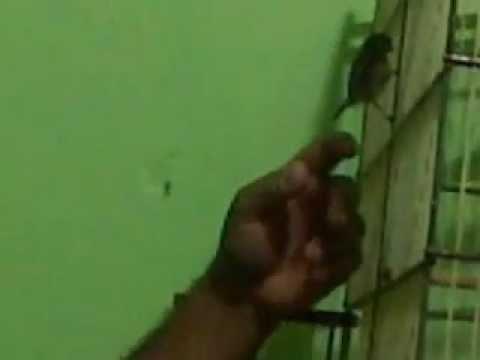 Caboculino doidão de Maracanaú.3gp