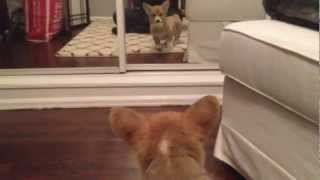 Puppy Sees Himself In Mirror For The First Time