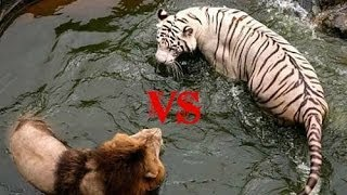 Lion Vs Tiger-Who Is The Real King?