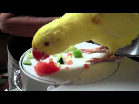 Mango the Yellow Indian Ringneck- 4 months old