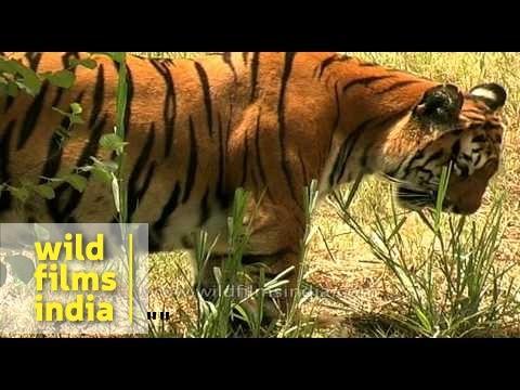 tiger mdv 1092 L56 19