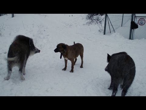 Dog Tosa Inu and Wild Boars