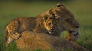documentary of animals lion buffalo 2015