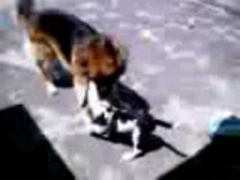Pastor Aleman VS Pitbull - German shepherd VS Pitbull - YouTube