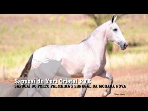 ÉGUA DA SEMANA - SAPUCAÍ DO YURI CRISTAL PVB - MANGALARGA MARCHADOR